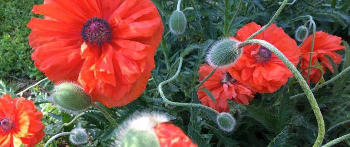 Roadside poppies 2016. Every year they appear and I can't resist their wonderful energy.