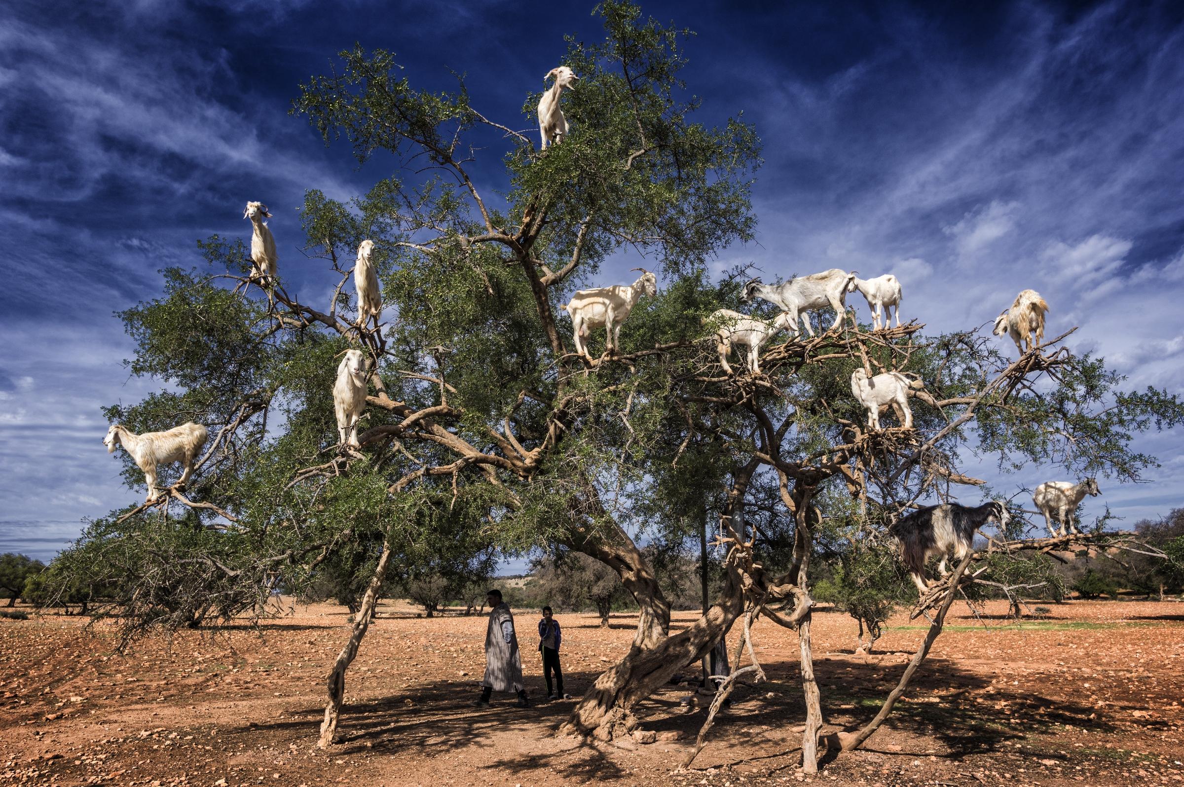 goats on the argan tree