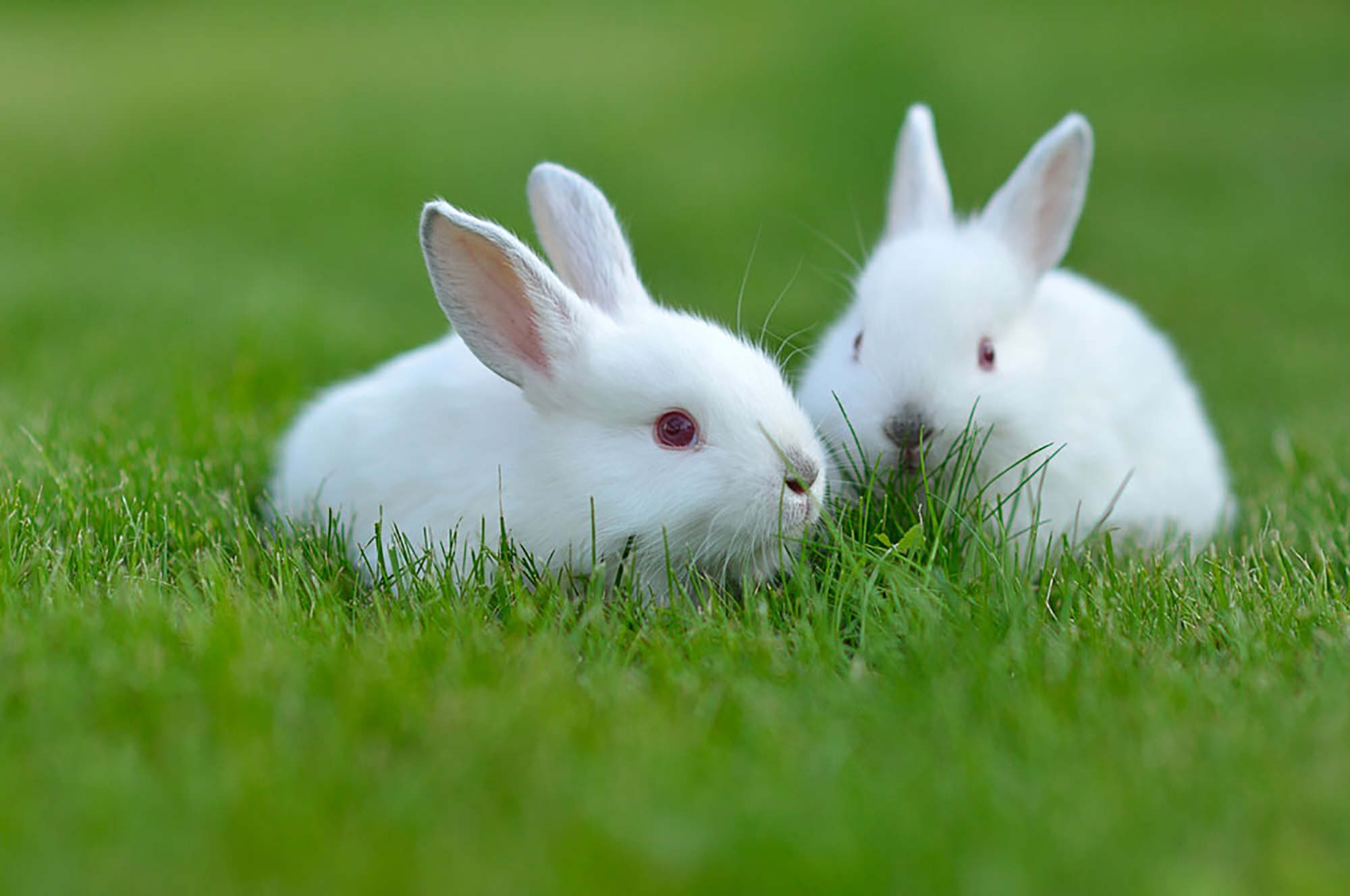 Two-White-Rabbits.jpg