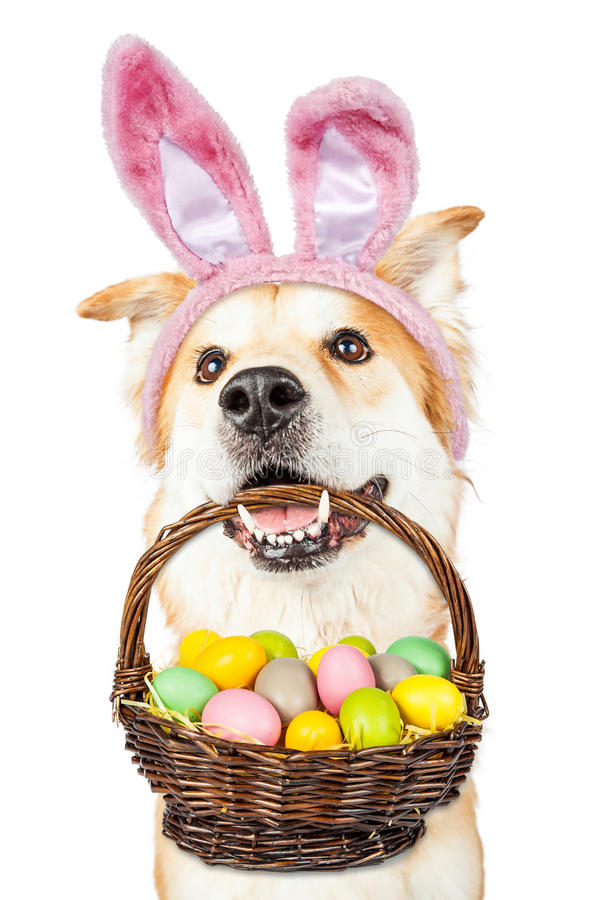 cute-dog-holding-easter-basket-wearing-bunny-ears-happy-golden-retriever-mixed-breed-colorful-eggs-his-mouth-66804616.jpg