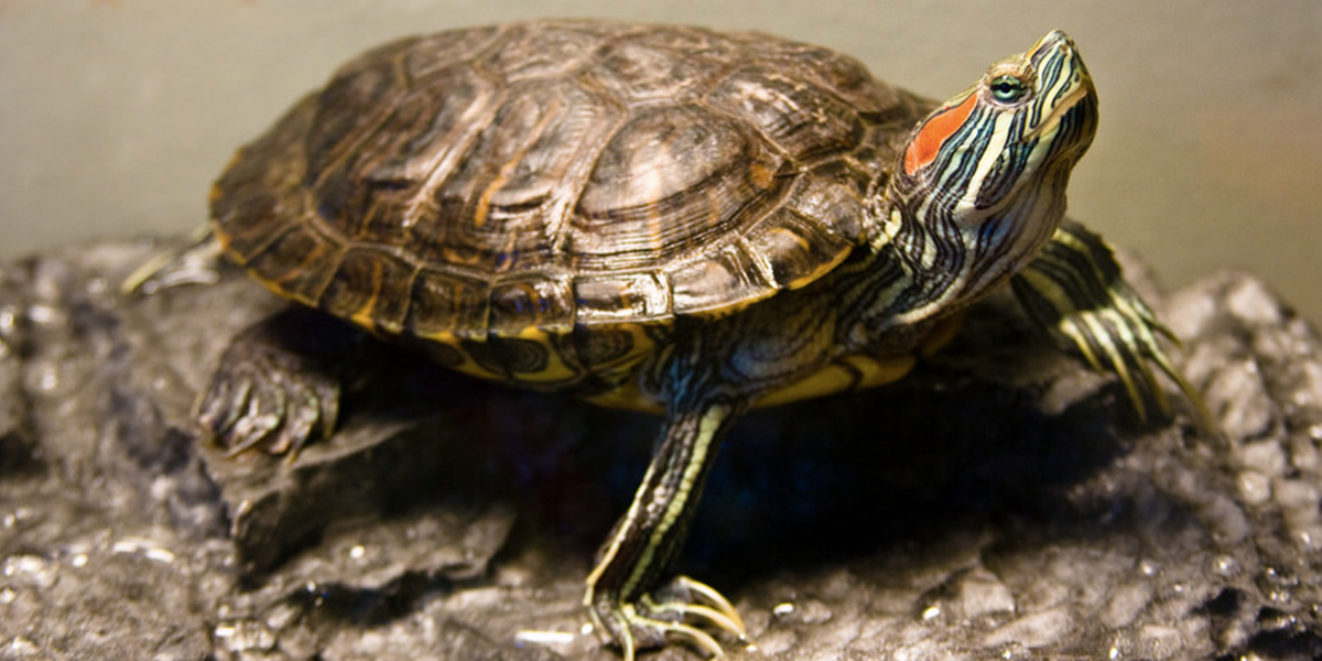 red-eared-turtle.png