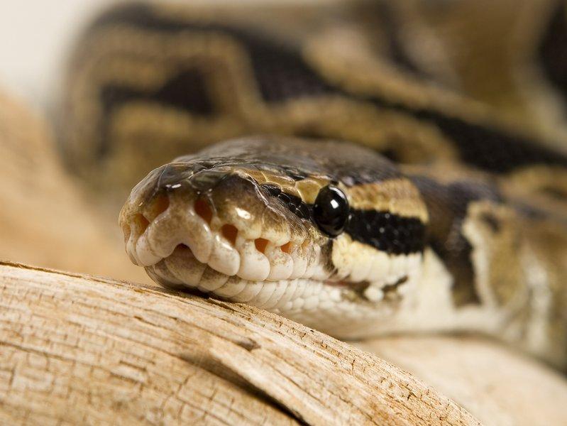 150-131310-ball-python-2-1460618859.jpg