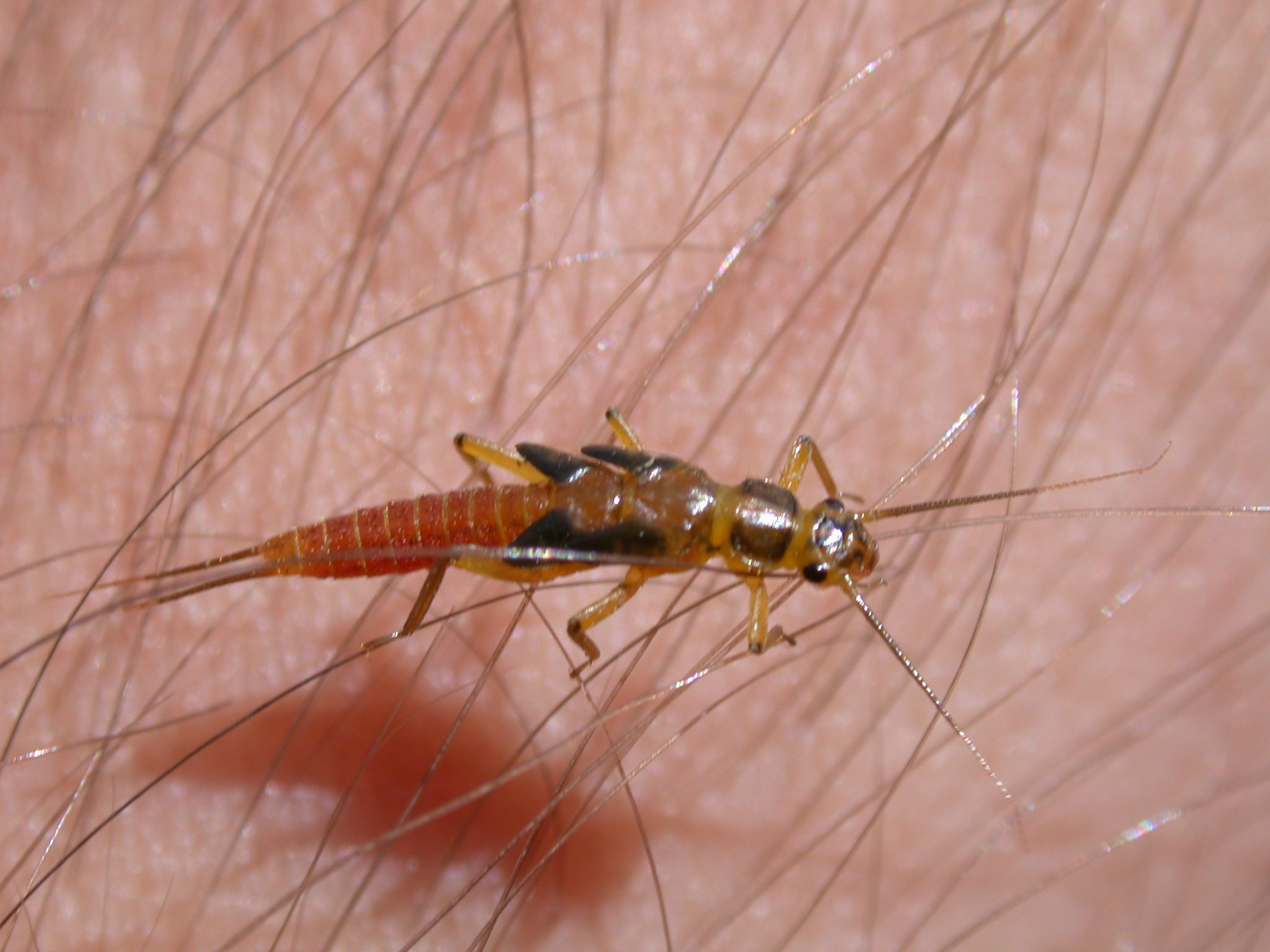 a small stonefly nymph site 40-2.JPG