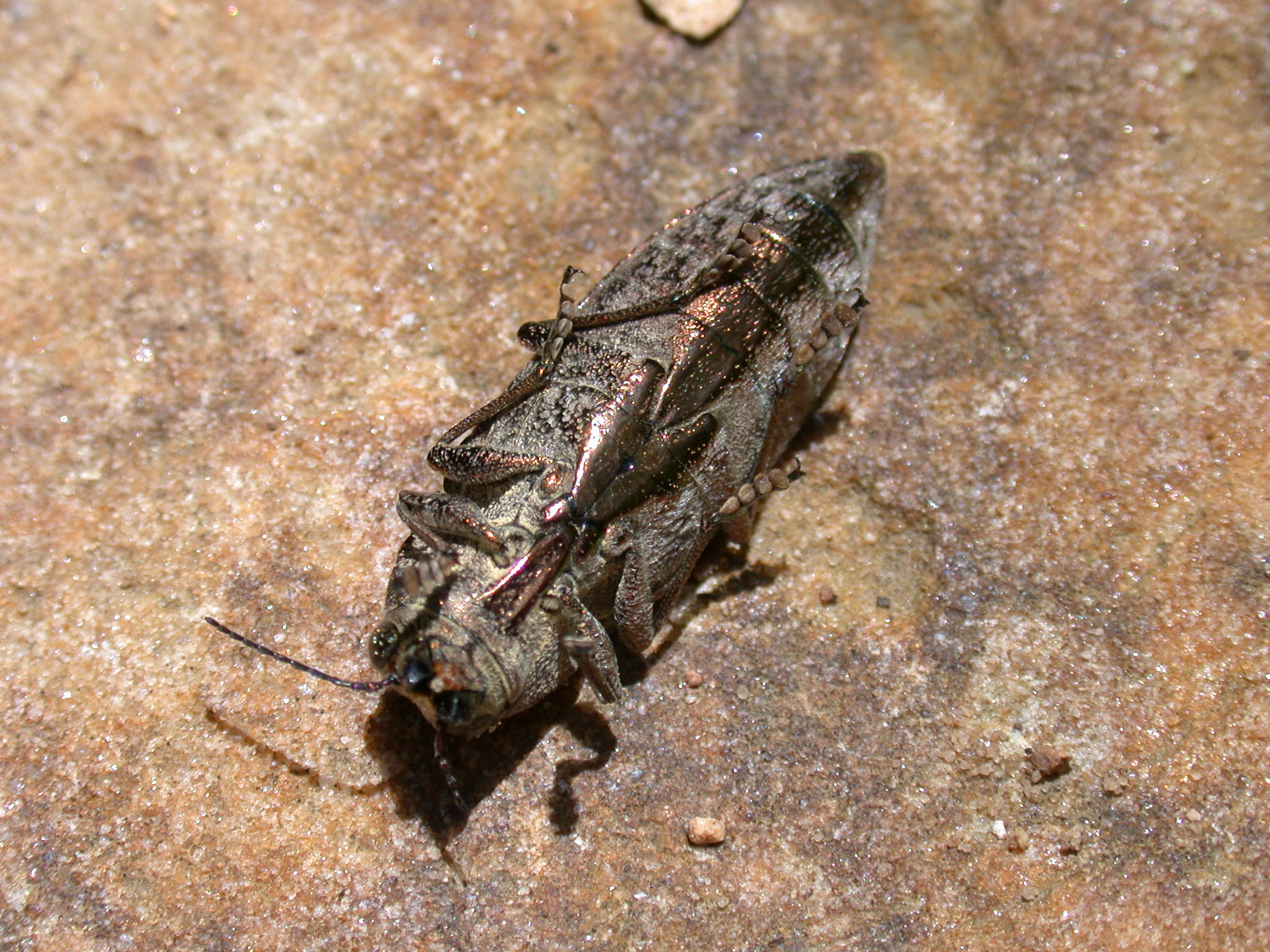 click beetle found site 40.JPG