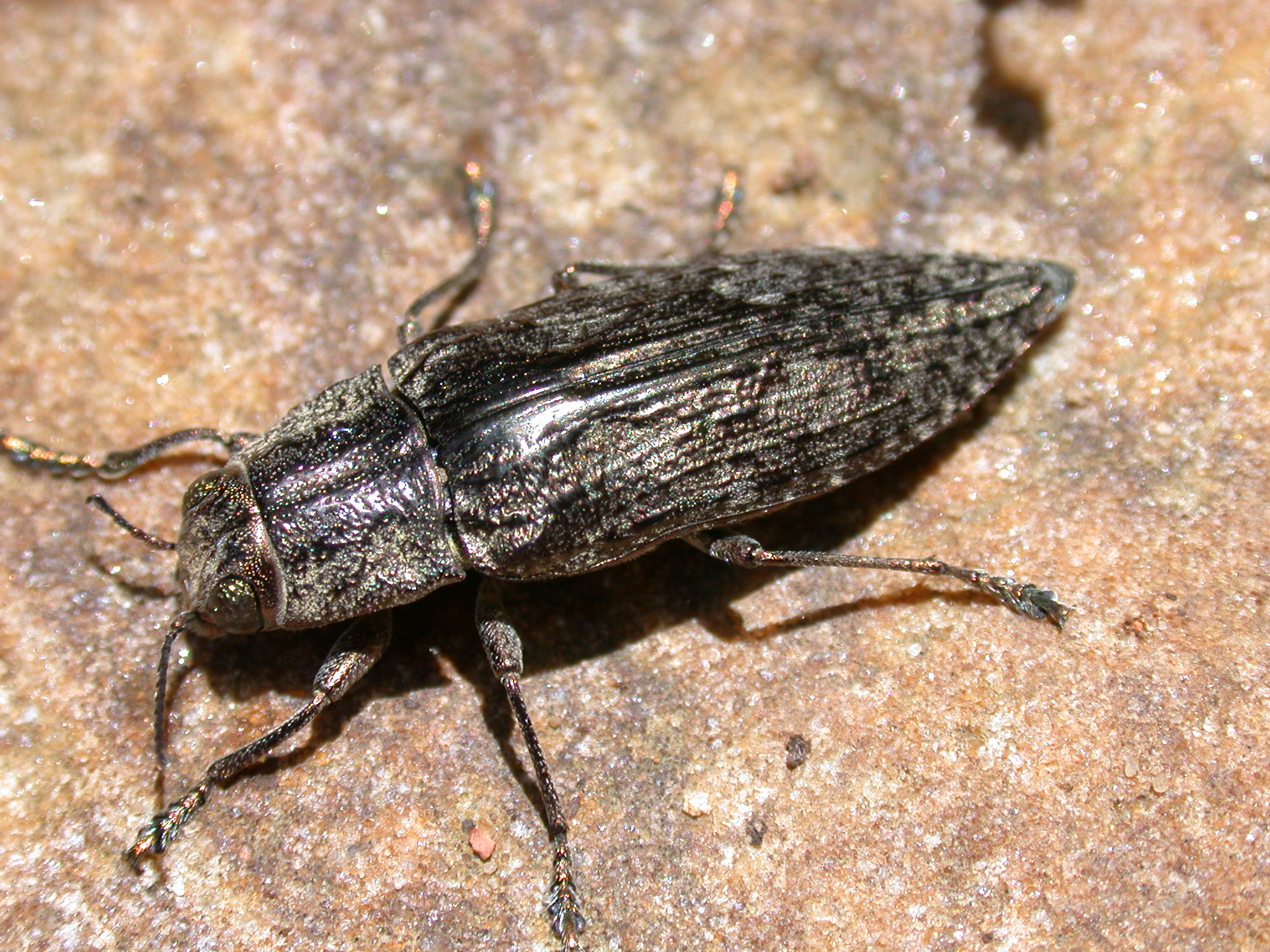 click beetle found site 40-3.JPG