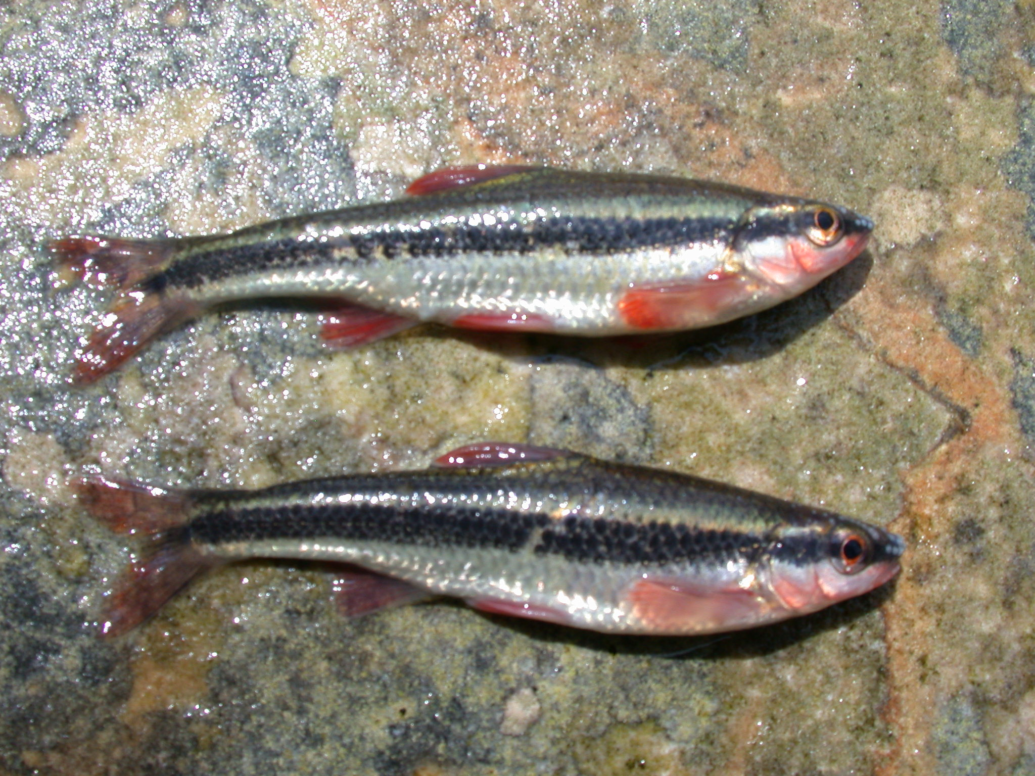 Duskystripe Shiners in spawning colors site 40.JPG