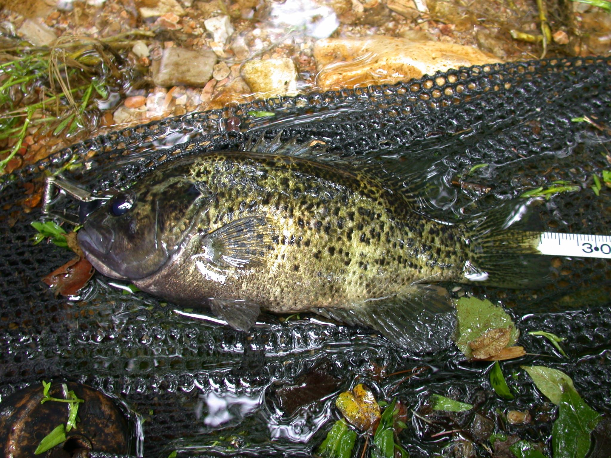 28cm Ozark Bass site 39.JPG