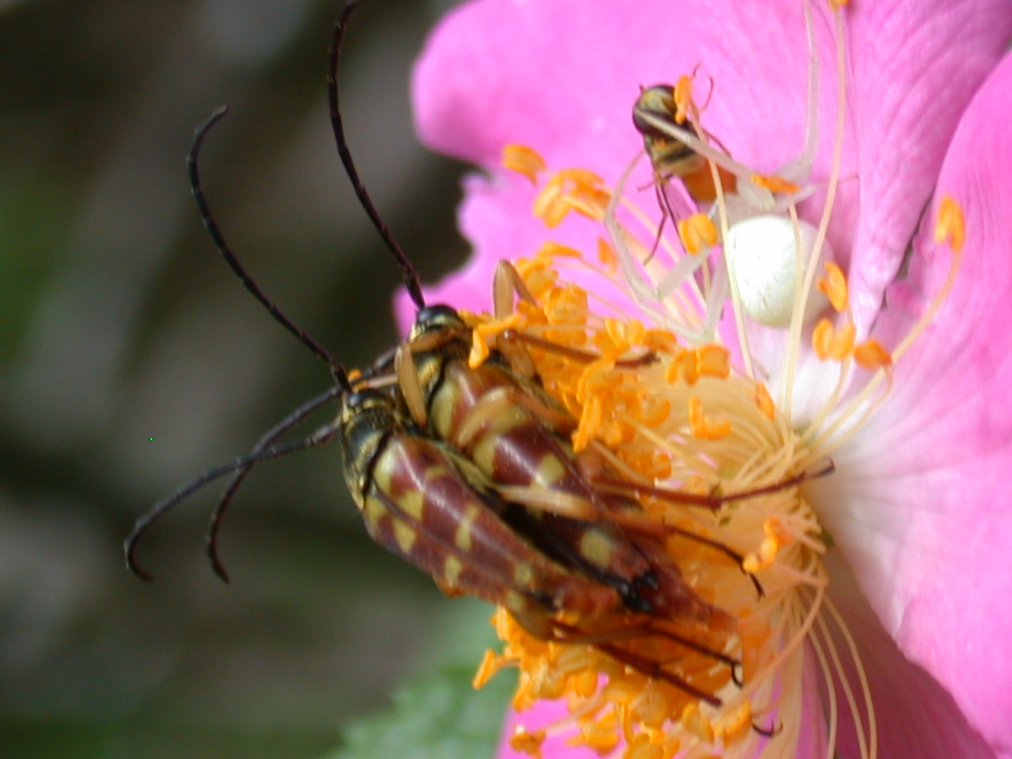 pollinating insects on a wild rose site 51-7.JPG