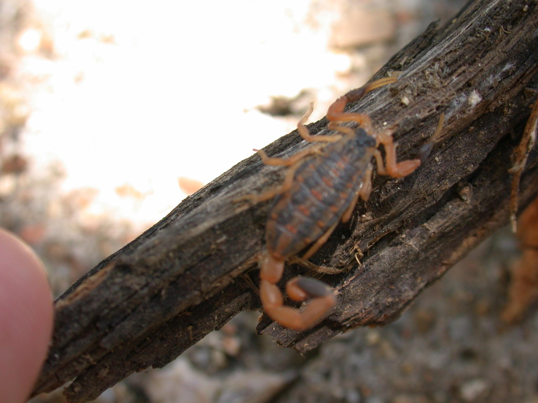 tiny scorpion found at site 32.JPG