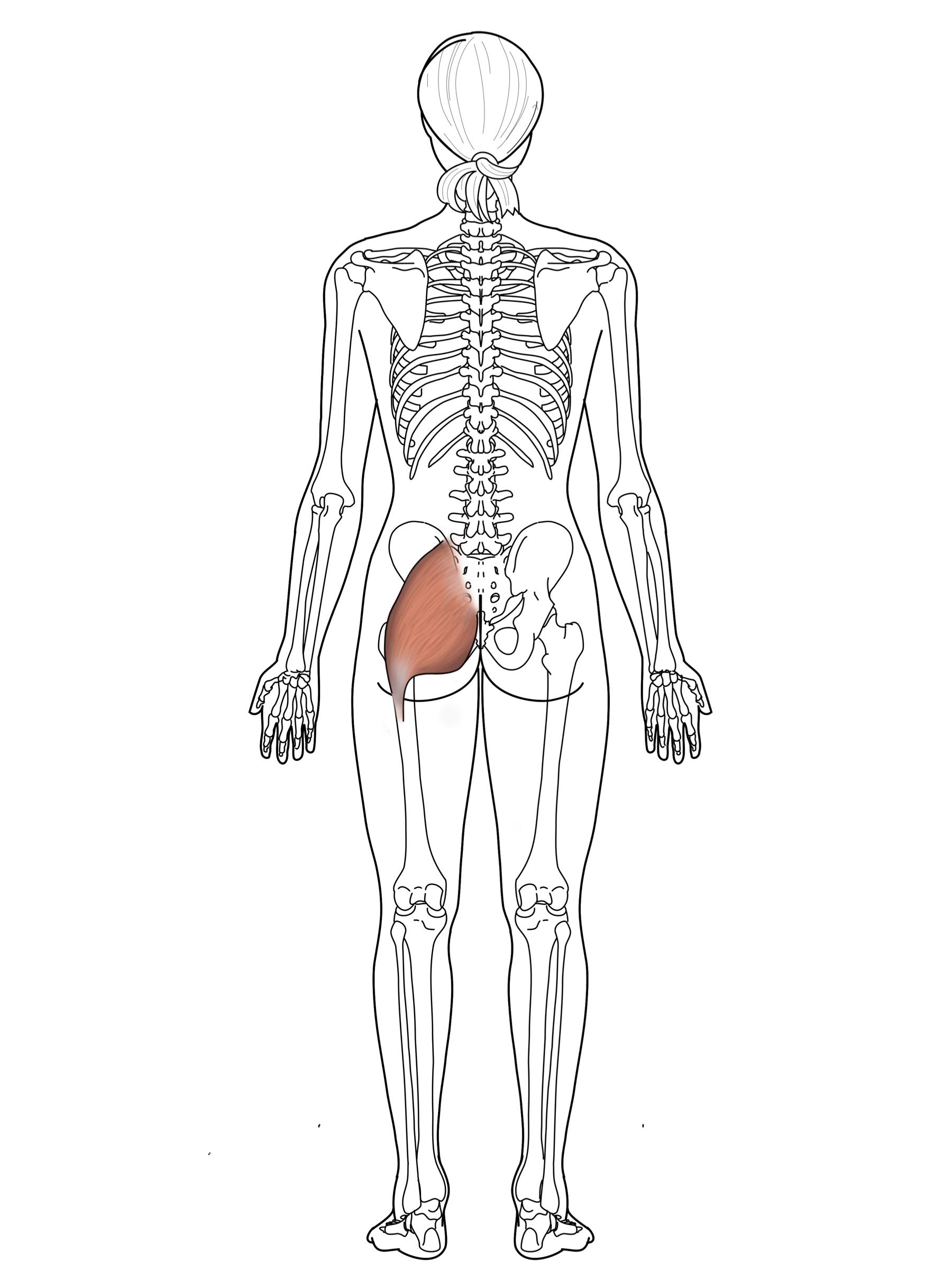 Origin: Pelvis / Sacrum  Insertion: IT Band  Action: Hip Abduction / ER  Innervation: L5/S2