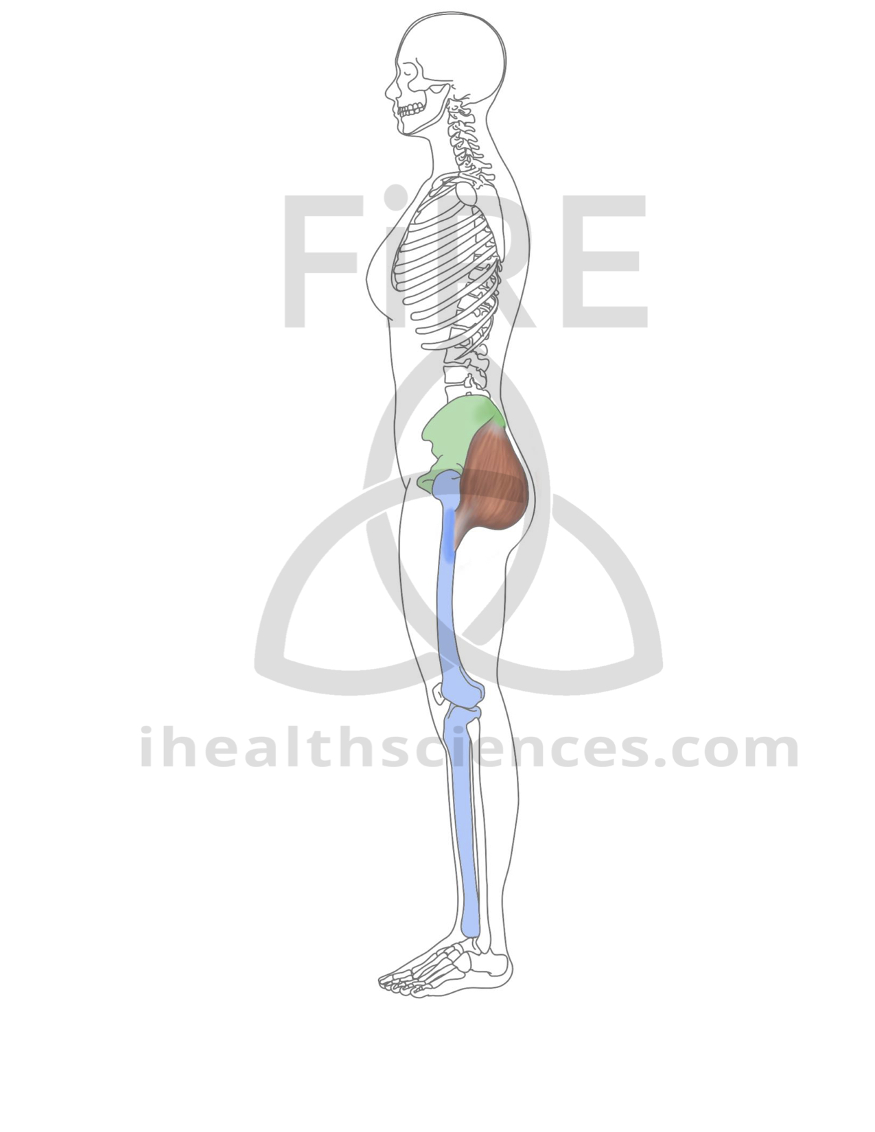 gluteus maximus (lateral, no IT band).jpg