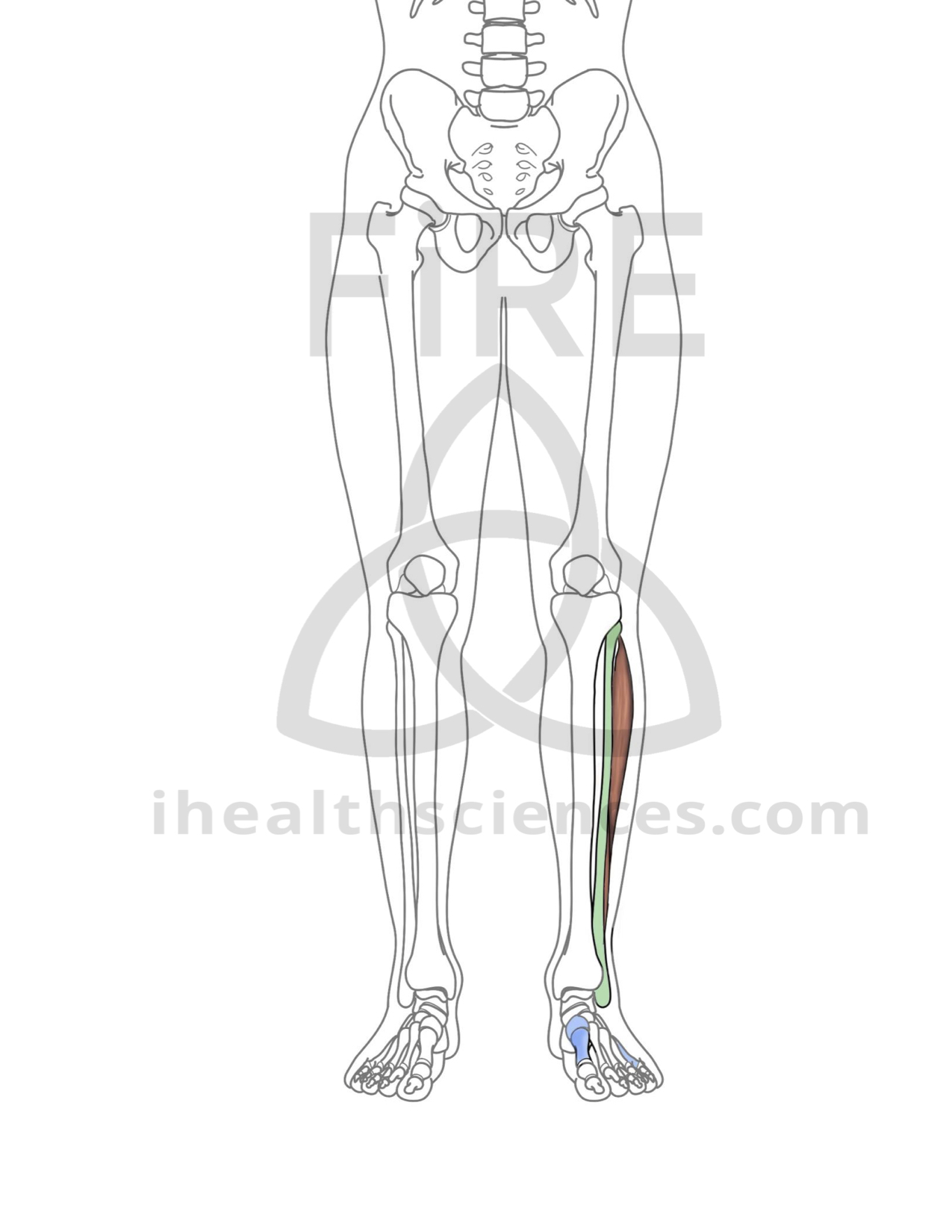 peroneus longus and brevis (anterior).jpg