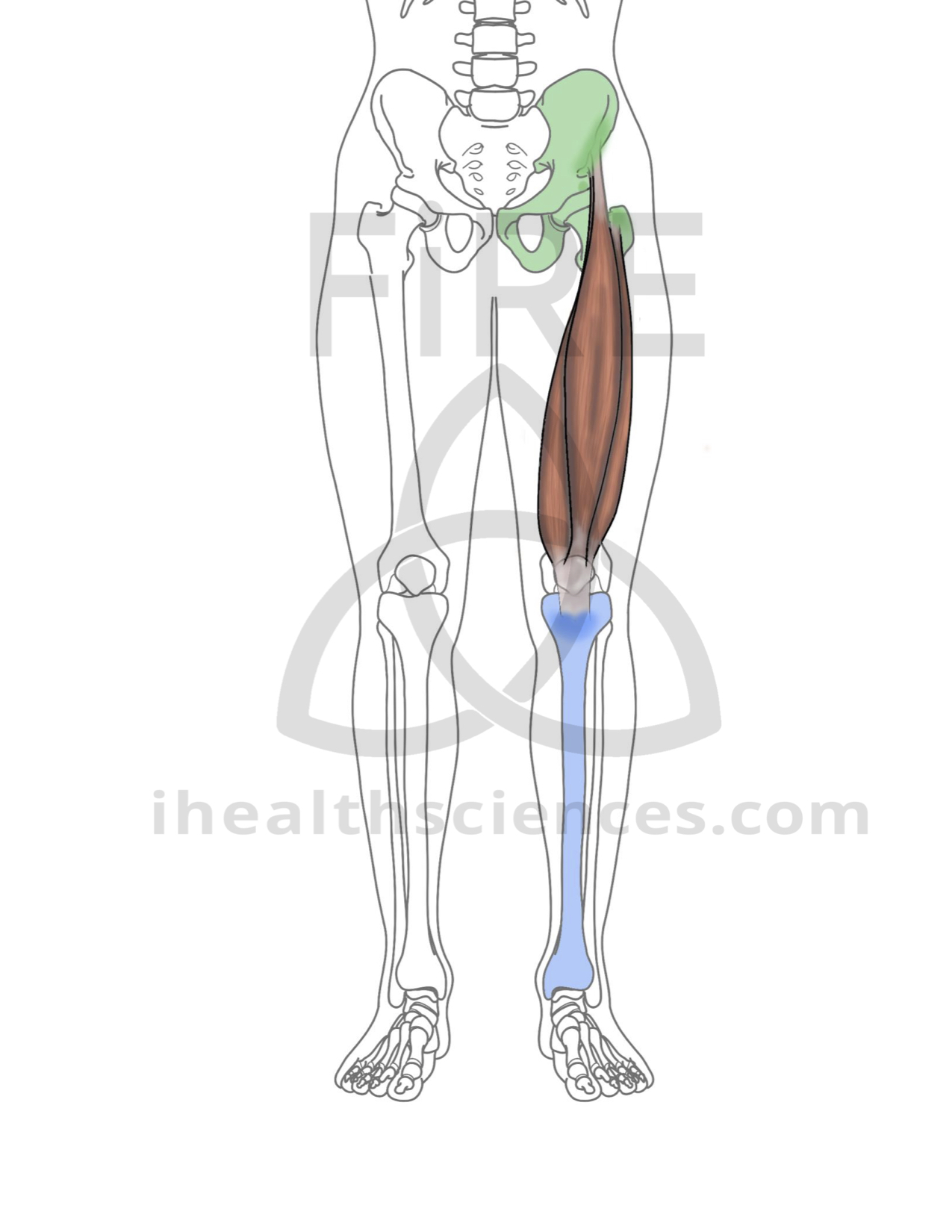 quadriceps (rectus femoris, vastus lateralis, vastus medialis, vastus intermedialis).jpg