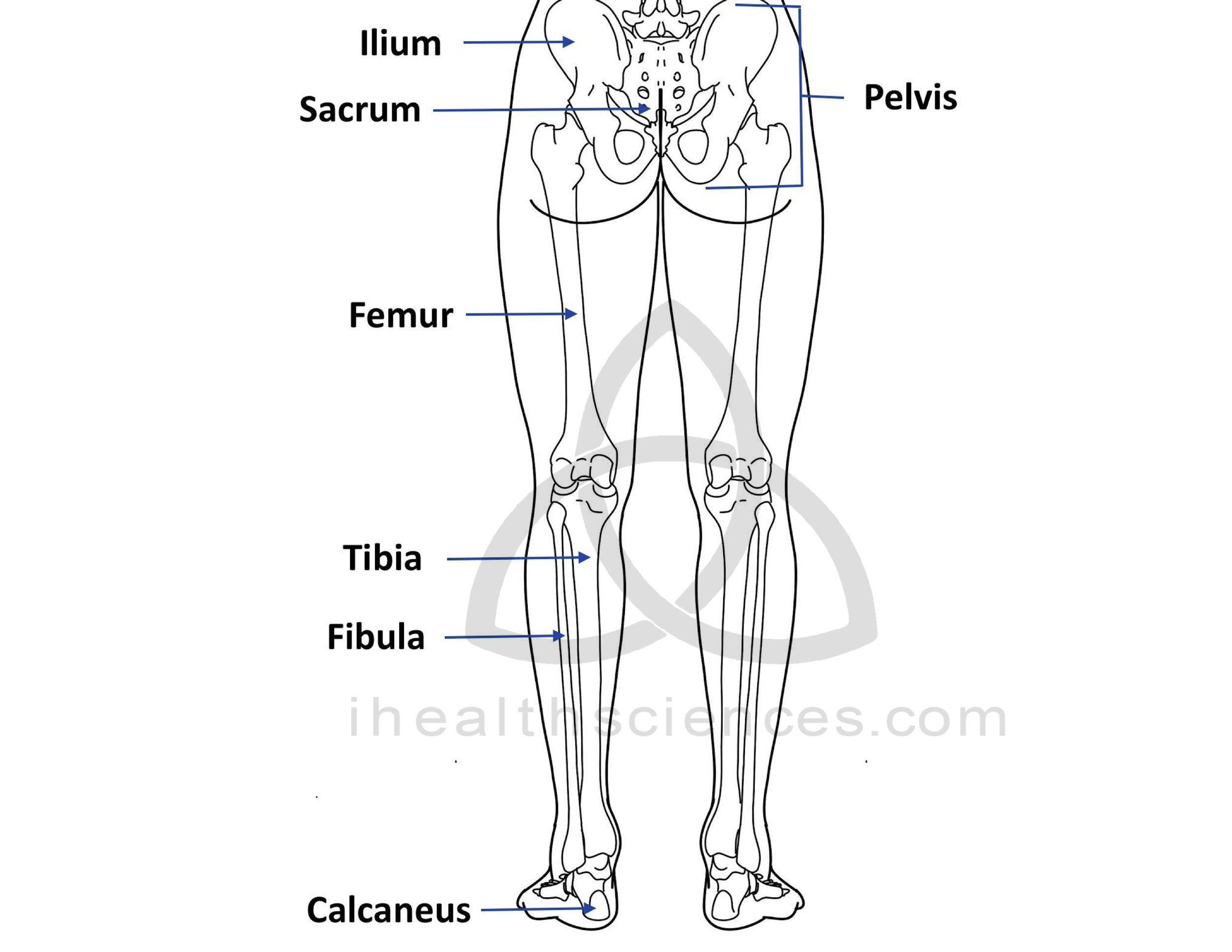WM posterior lower limbs JPEG.jpg