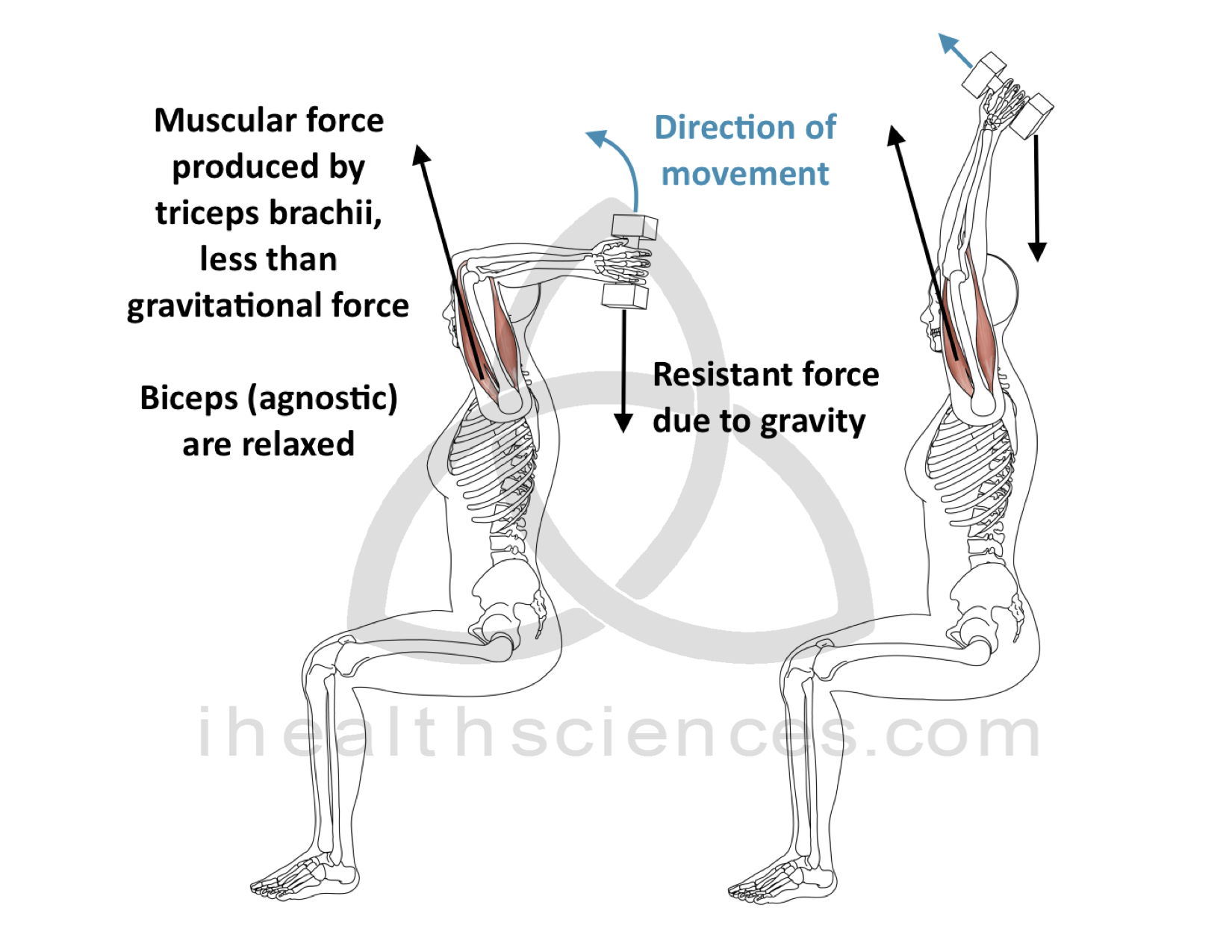 Eccentric Contraction - Triceps Brachii