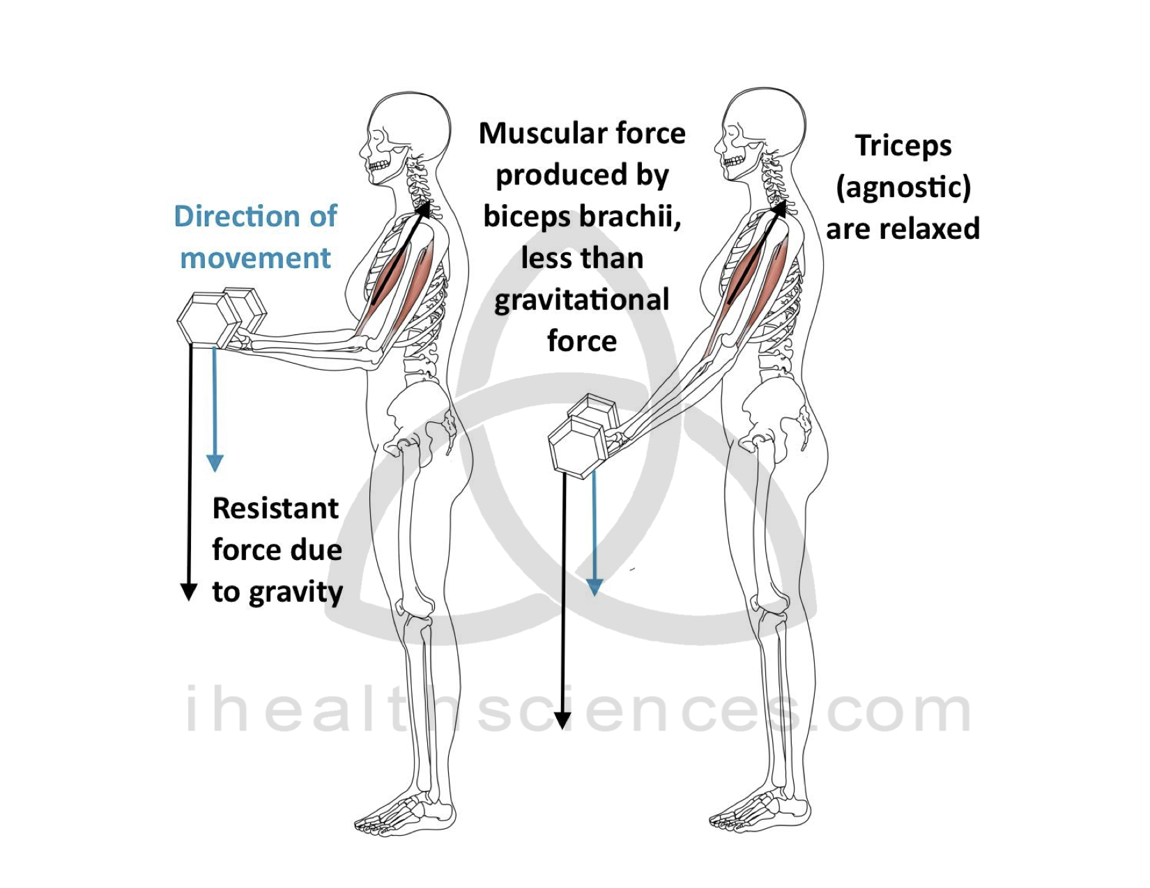 Eccentric Contraction - Biceps Brachii