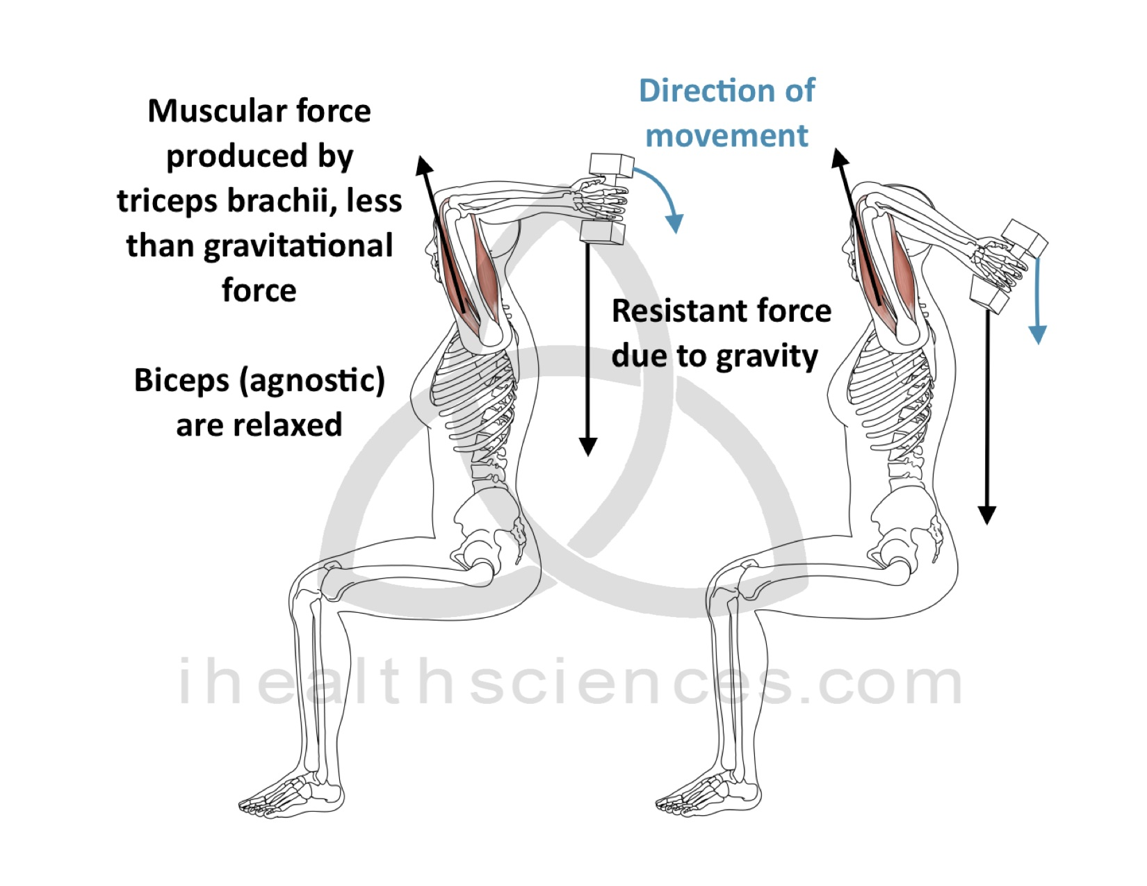 Concentric Contraction - Triceps