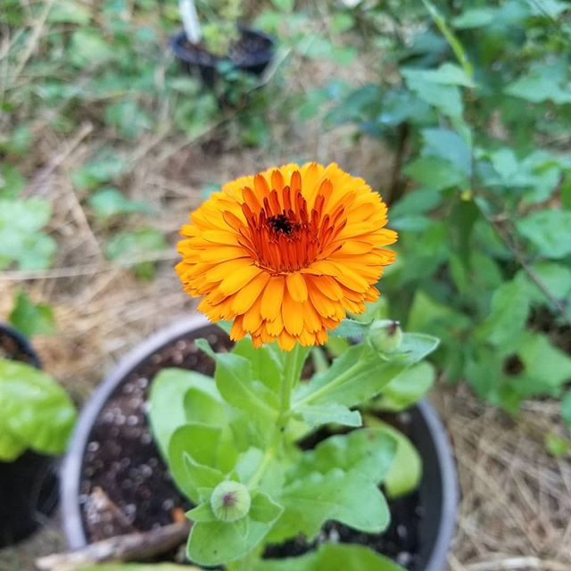 Woohoo the calendula I grew from seed is starting to flower! 😍 For months I was bummed that there's so much shade on the land around our home. I felt frustrated that I couldn't grow the things I wanted to grow (or so I believed). Then I started questioning if that was really true. I embraced the invitation to connect more deeply with the land we inhabit, and I decided to experiment and become curious about what grows easily, naturally here. The plants have taught me so much over the last few months, and i can't wait to learn more. These babies are happy, resinous, and bright 🌱 #plantmedicine #plantlove #placemedicine