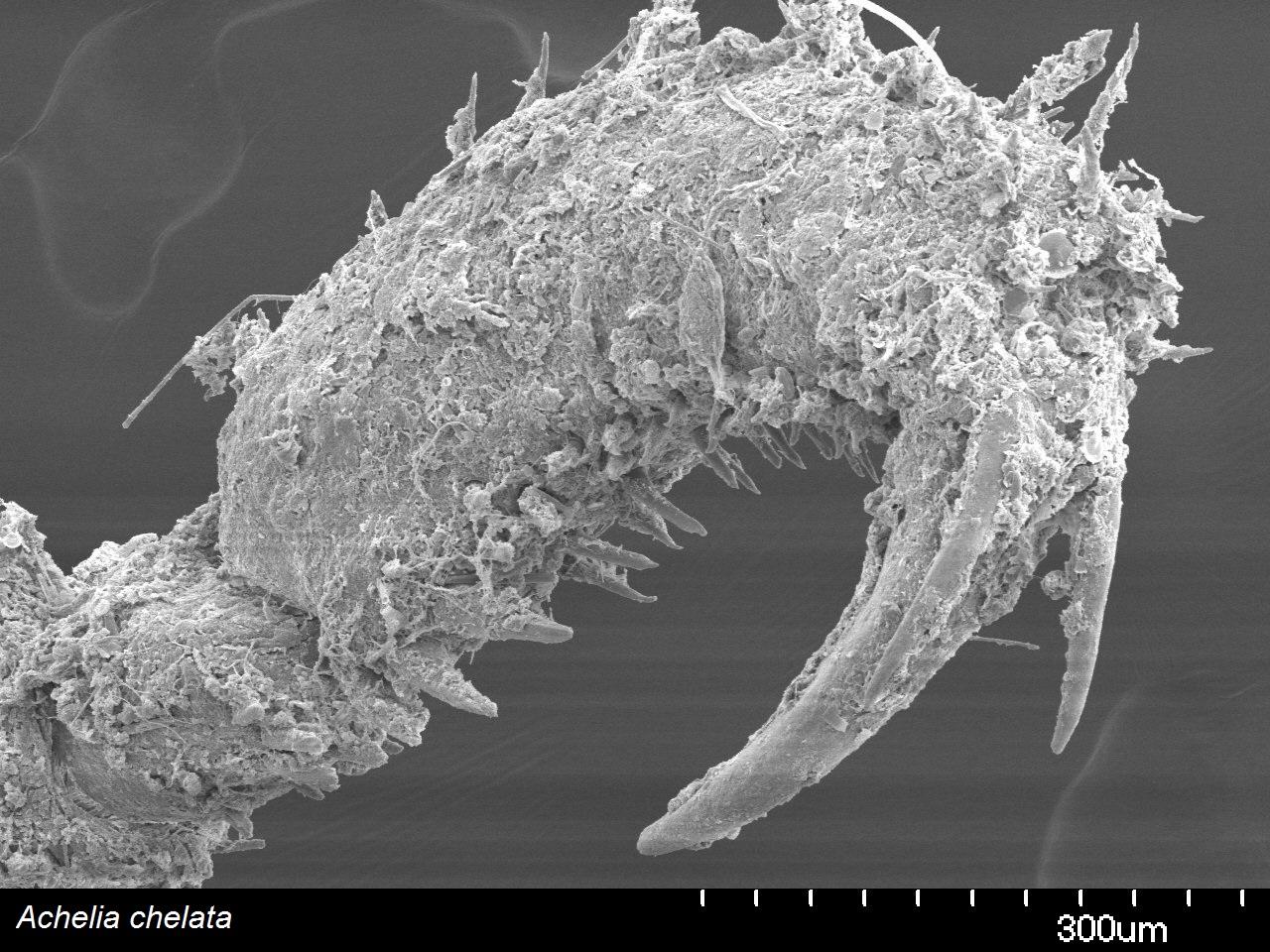 SEM image of  Achelia chelata  tarsus