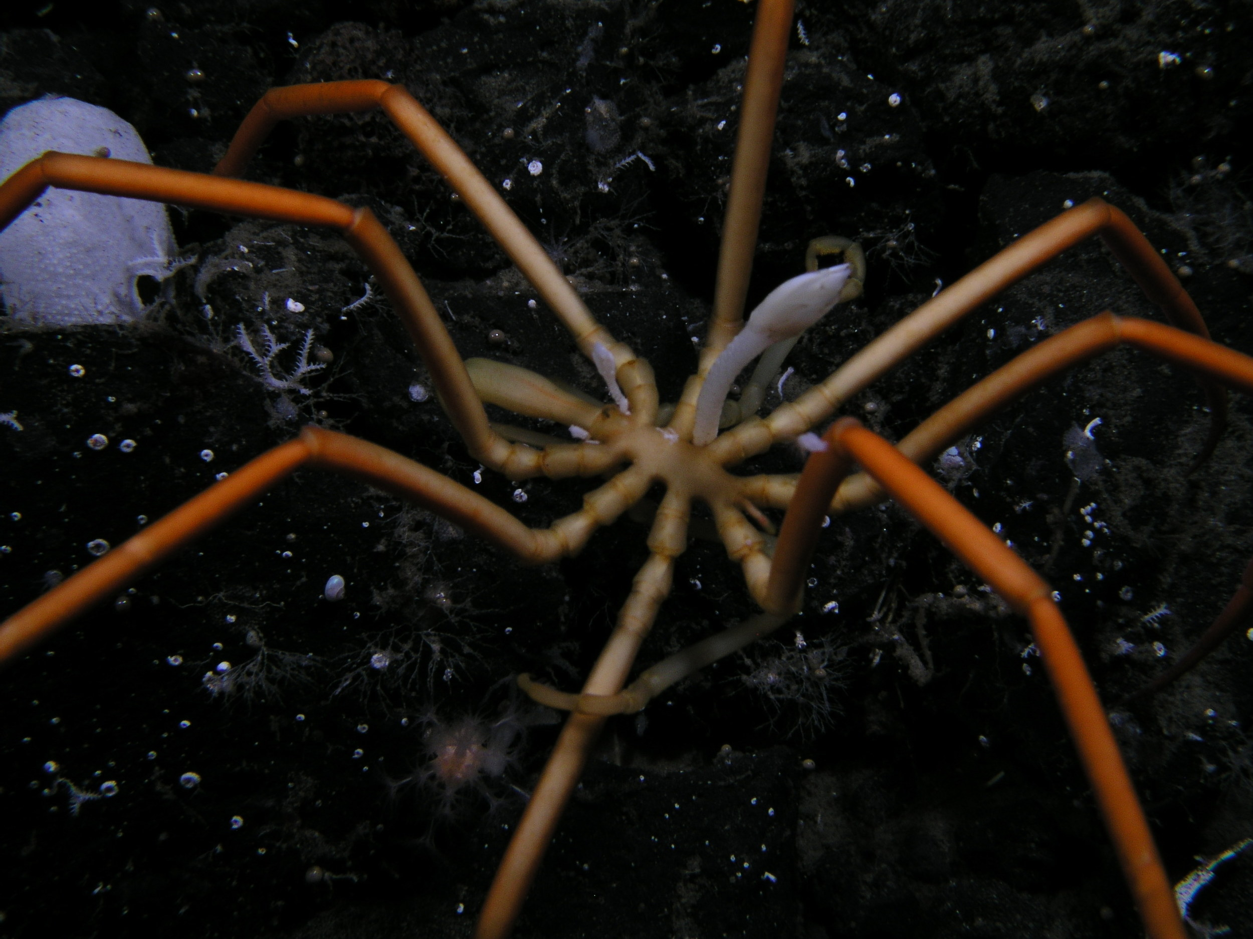 Large antarctic sea spider. This one has a barnacle growing off its thorax.