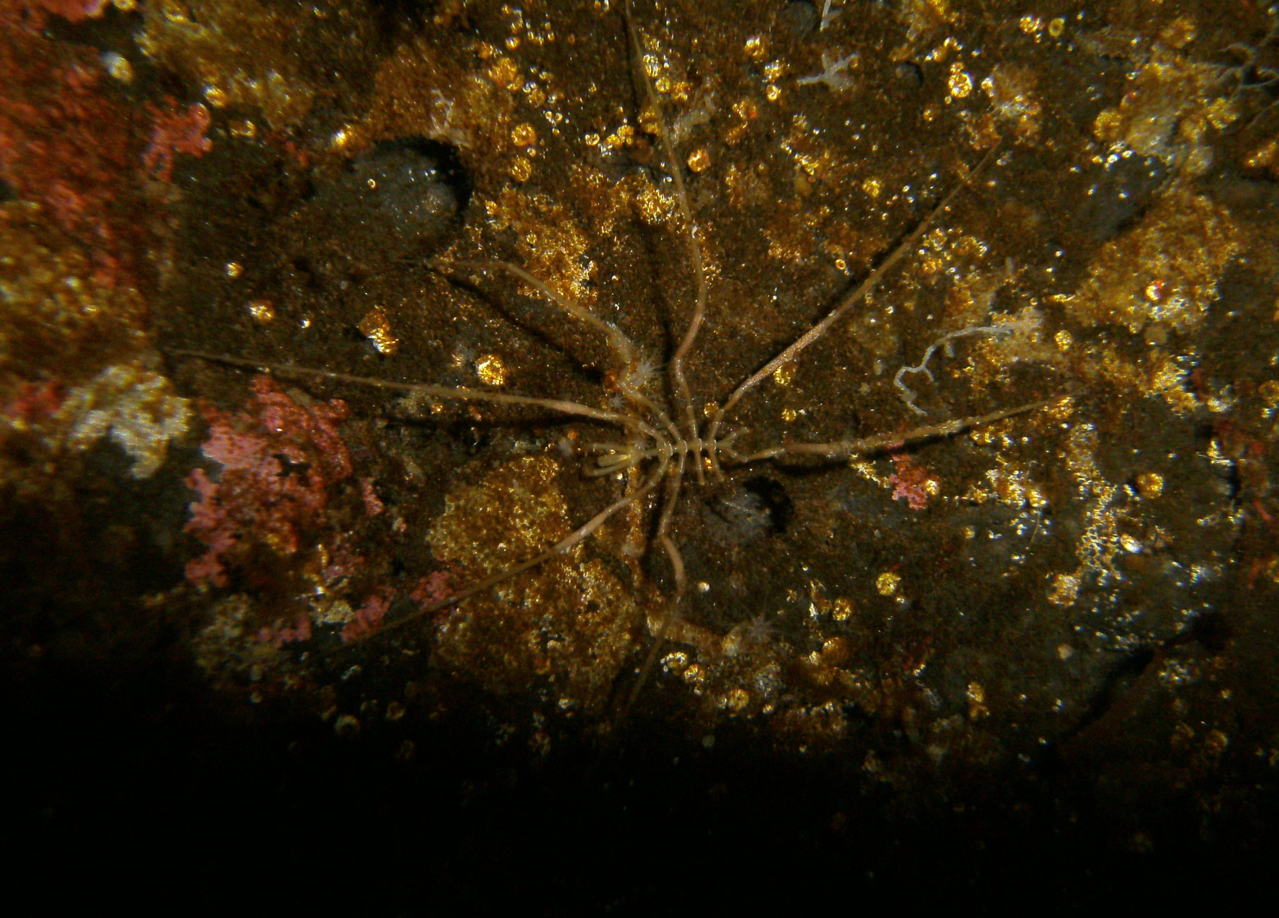 Sea spider  Pentanymphon antarcticum.  This species has 10 legs (although this individual has lost a few)!