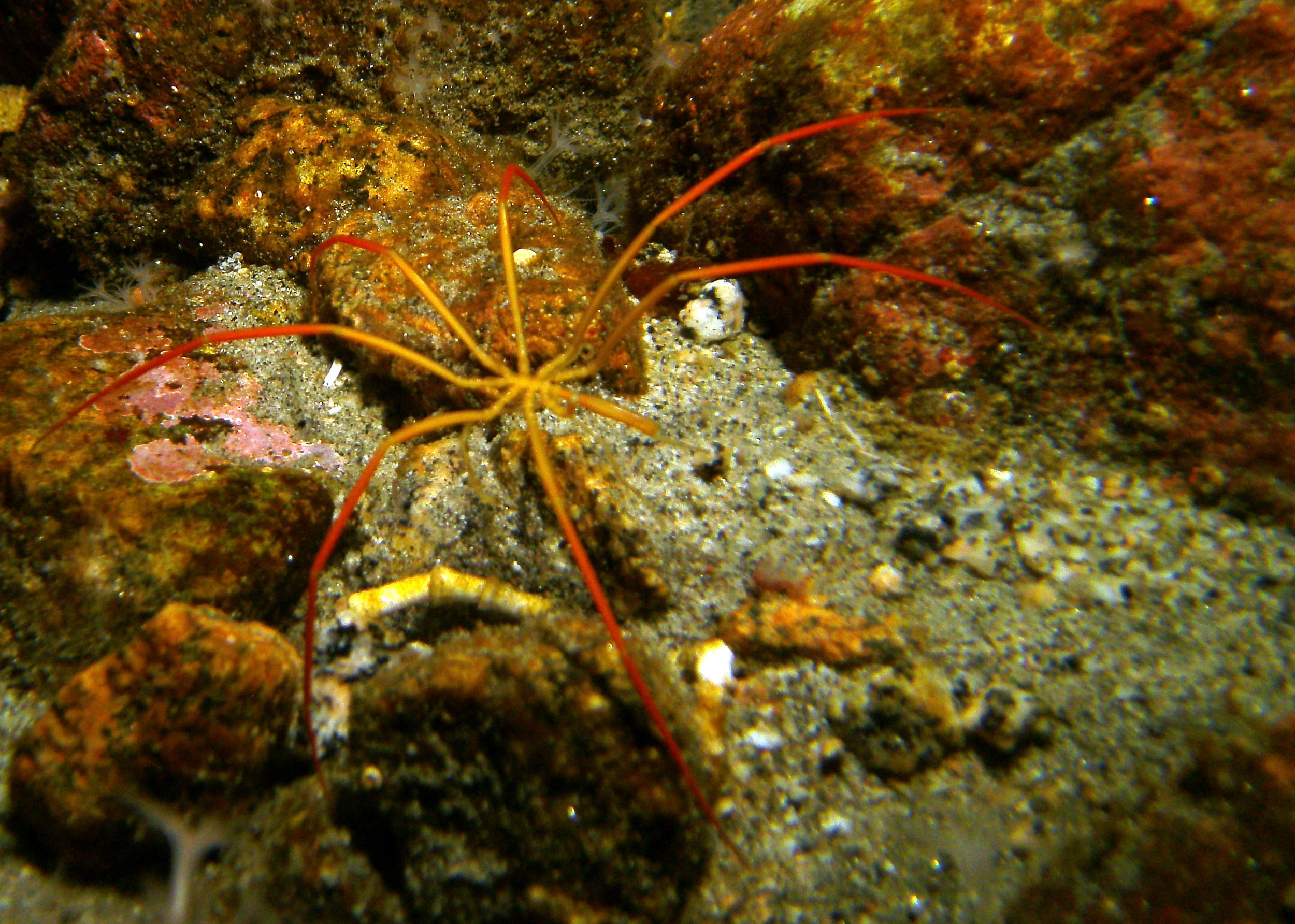 Sea_Spider_Colossendeis_megalonyx_Granite_Harbor.JPG