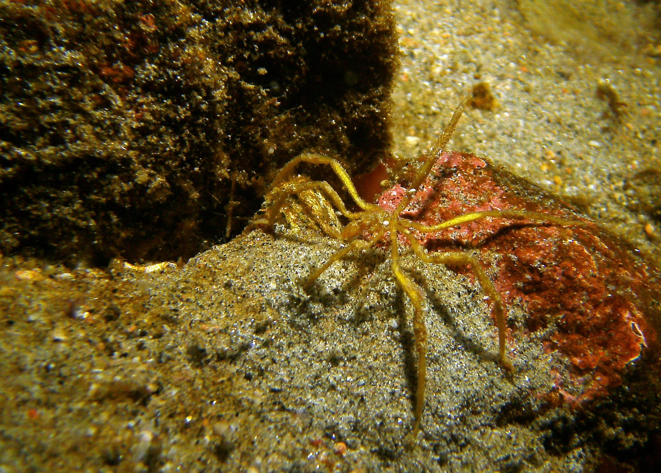 Sea_Spider_d_Granite_Harbor.JPG