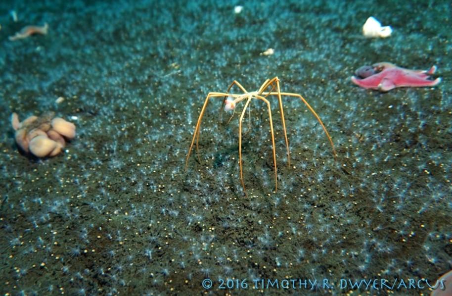 sea spider ( Colossendeis megalonyx ) feeding on a sea butterfly ( Clione antarctica ) in mcmurdo sound, Antarctica