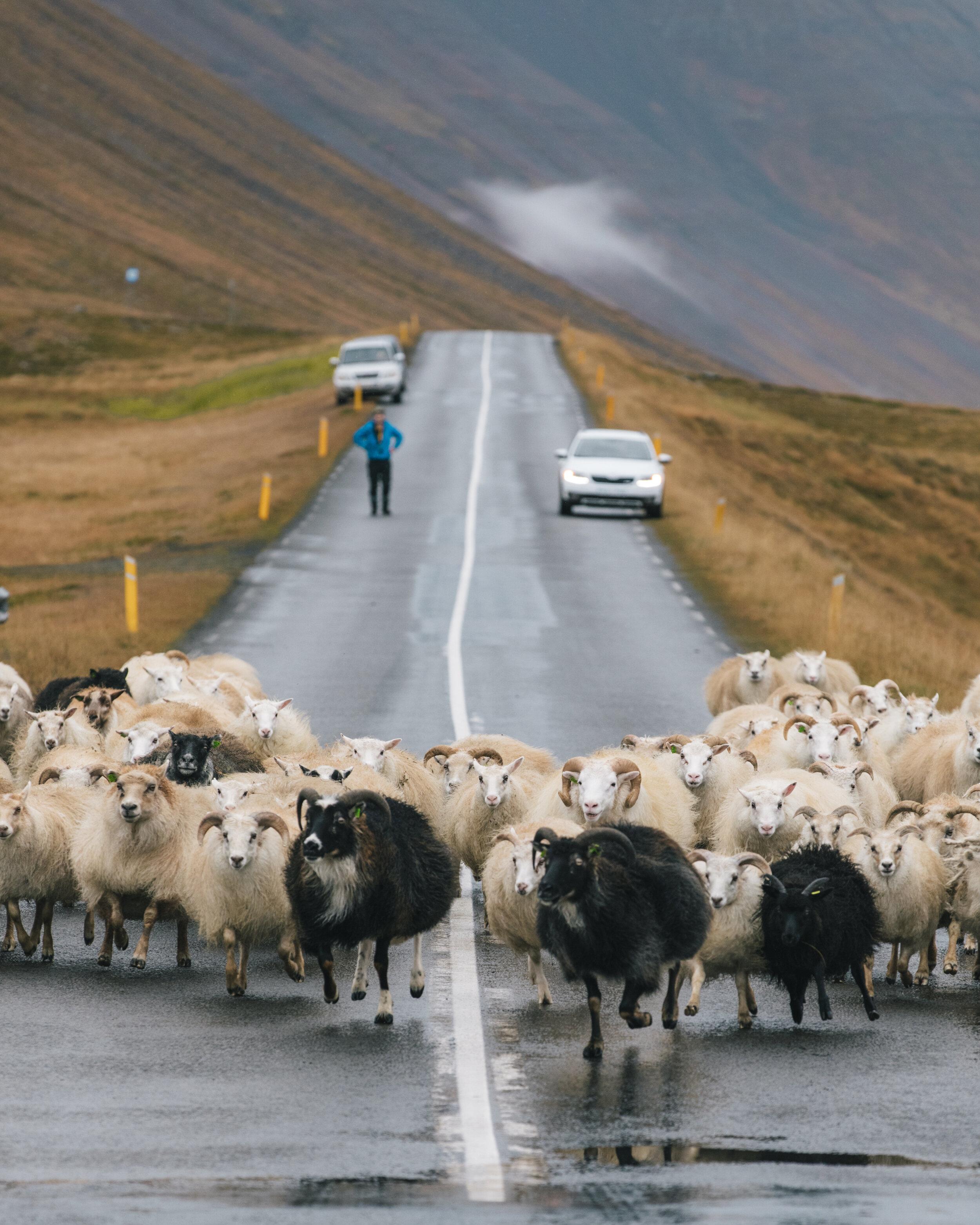 Rettir – the annual sheep round-up!