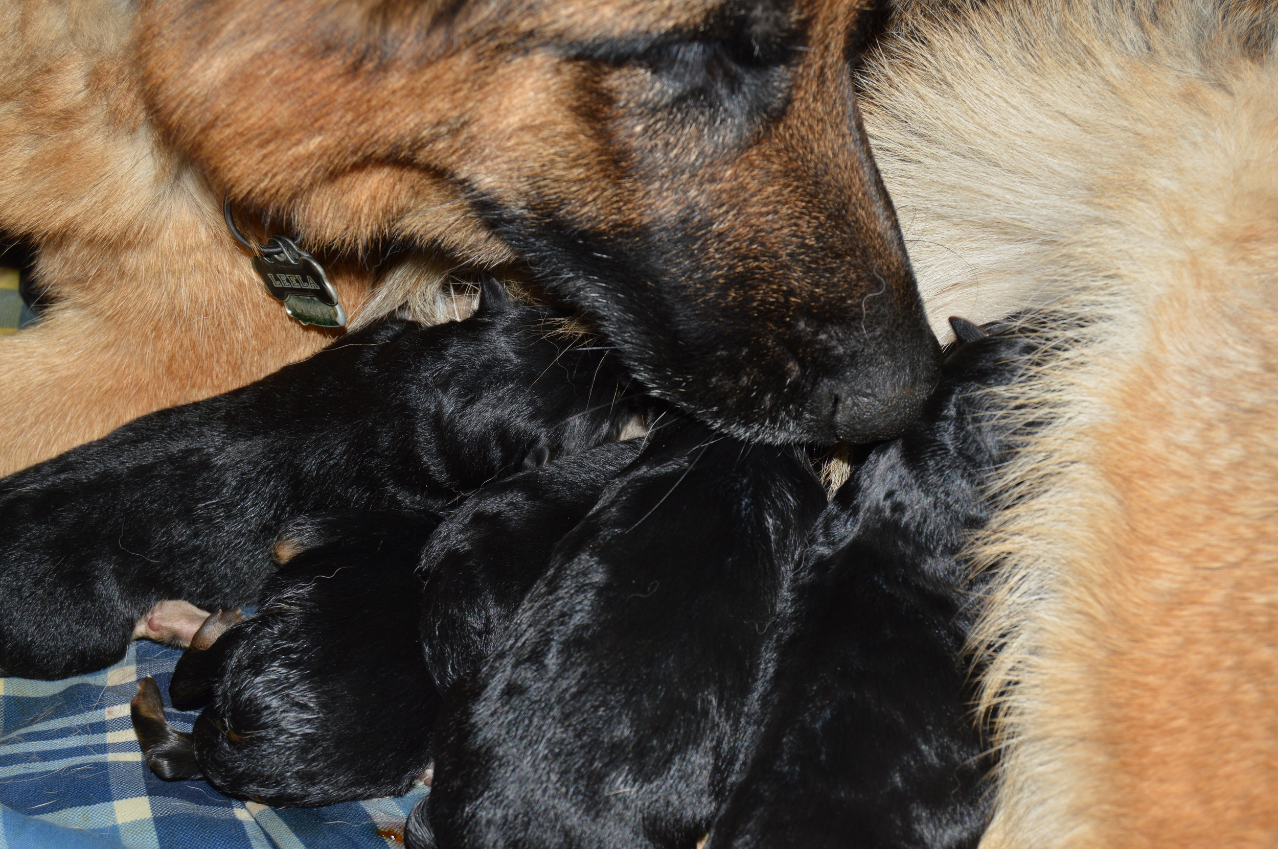 Jayden (affectionately called Leela) is a wonderful mom to her new puppies.