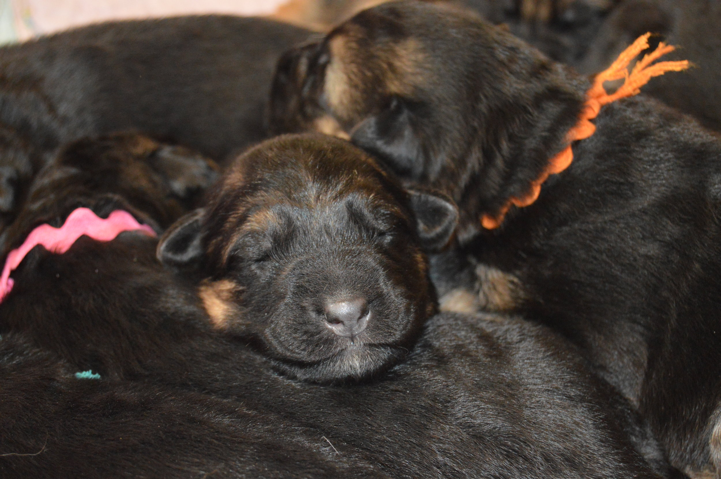 Our Santon and Luna puppies are here!! :)