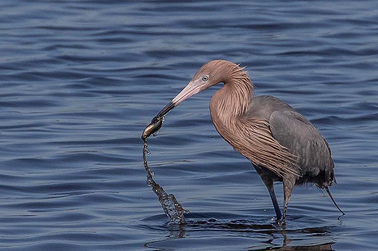 reddish-egret-750.jpg