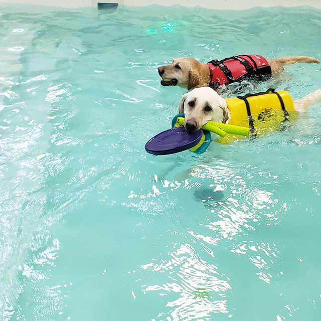Cooper is the fun Police....he needs to let the other dogs share his toys! #mydogswimsatdawgparadise #dawgparadise