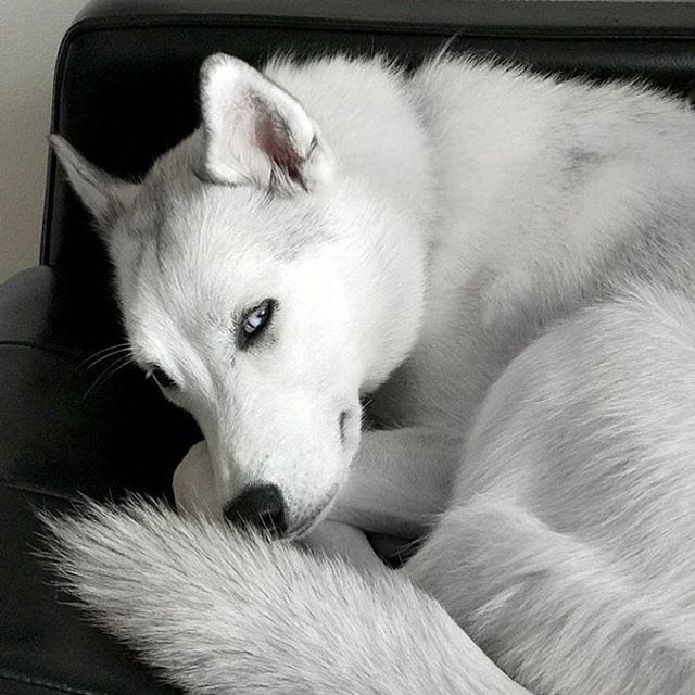 Belladonna 🖤 She's looking for a new home. Email me if you're interested in fostering or adopting (OC, CA area). hey@blackvelvetstyle.com . . . #siberianhusky #whitehuskies #whitehusky #huskyadoption #adoptahusky #ochuskies #puppyneedsahome #ocpuppy #ochusky #dogsoforangecounty #puppyforadoption #whitedogs
