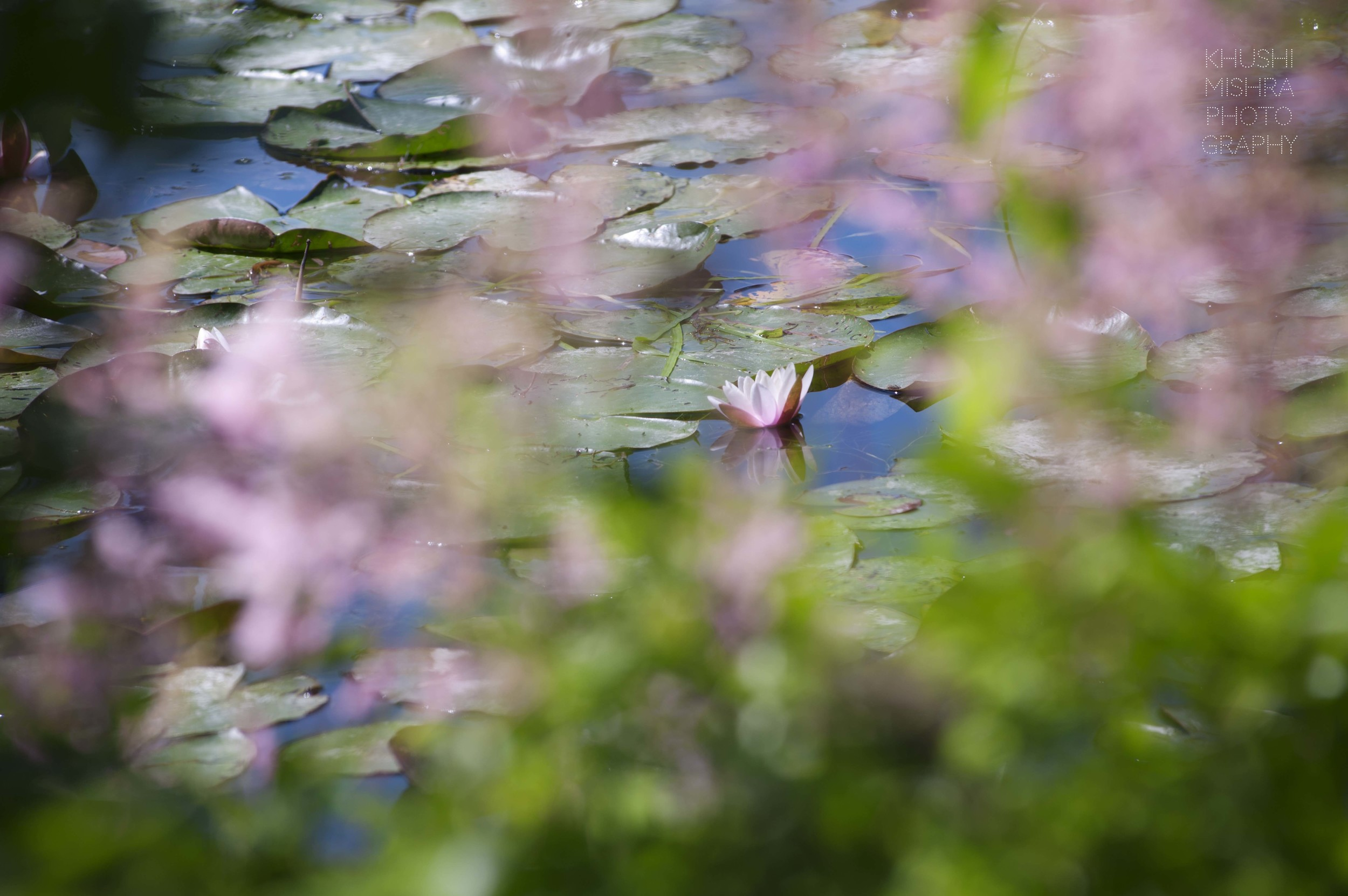 water lilies lotus backlit giverny monet
