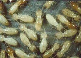 White ants (or termites) are a massive problem in WA and one of gyprock's biggest enemies. Solid plastering enemies = none.