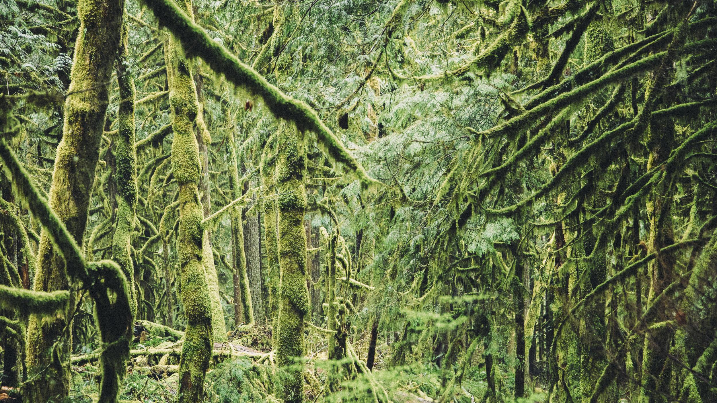 MossyTrees.jpg