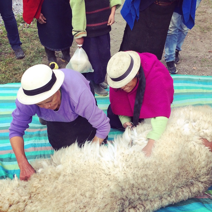 Watching the indigenous women shear a baby alpaca.