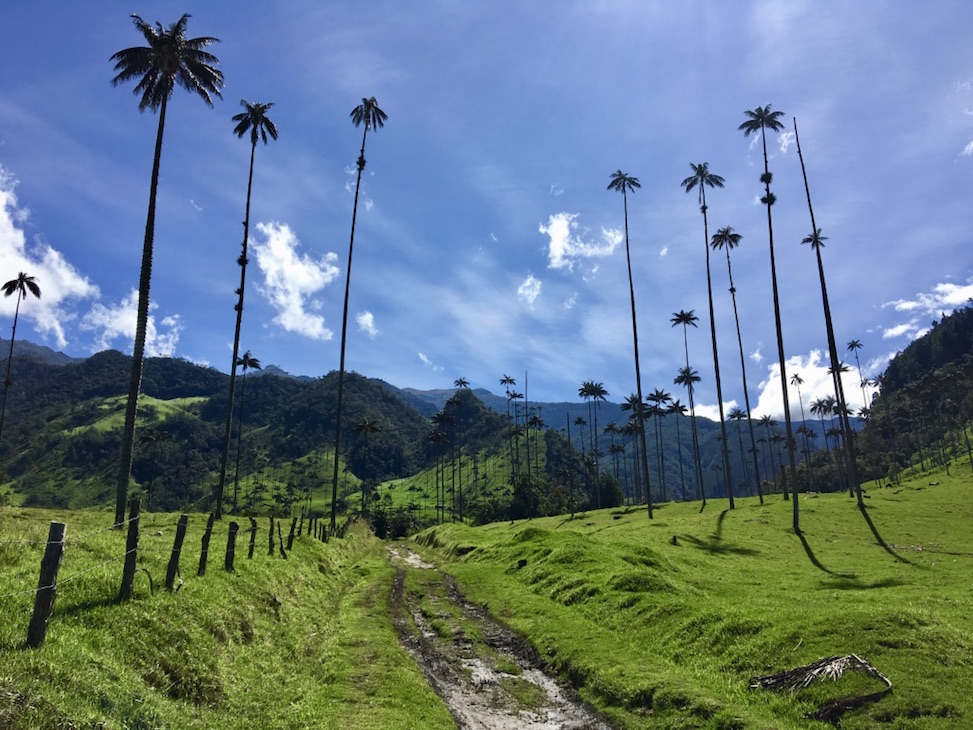 Bosques de Cocora in Salento aka the famous tall skinny trees of Cocora Valley in Salento.