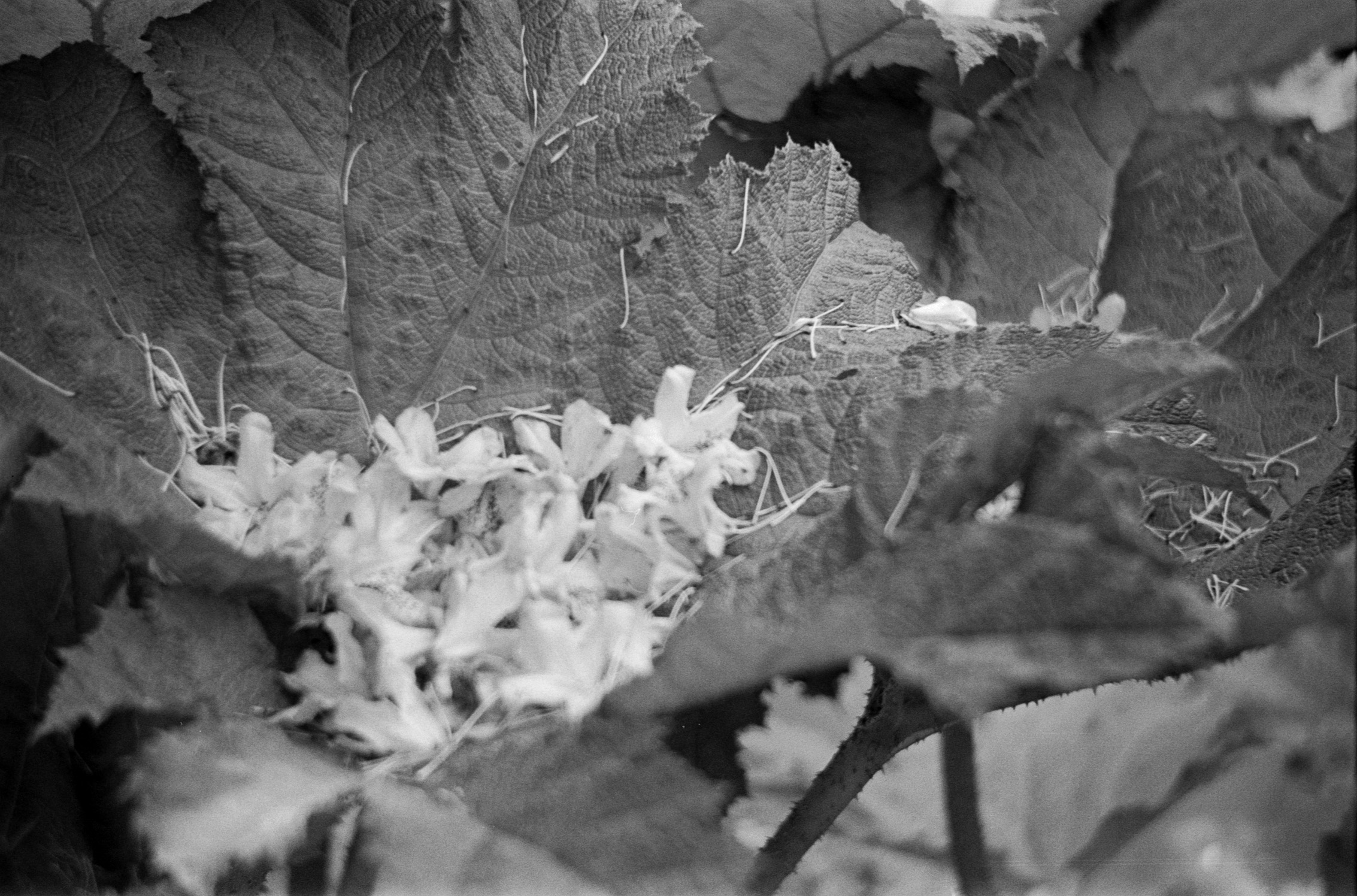 Film: Kodak T-Max 400 B&W  Camera: Voigtländer Vitoret DR  Location: Kilmacurragh Botanic Gardens, Co. Wicklow, Ireland