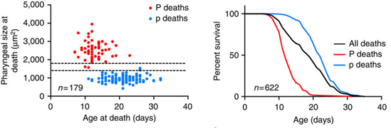 The figures above show the age distribution and percentage survival of P and p deaths.