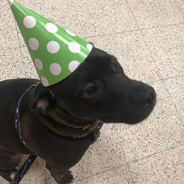 We had a birthday party at school today! #pittbull #puppies #cutepuppy #puppy #puppiesofinstagram