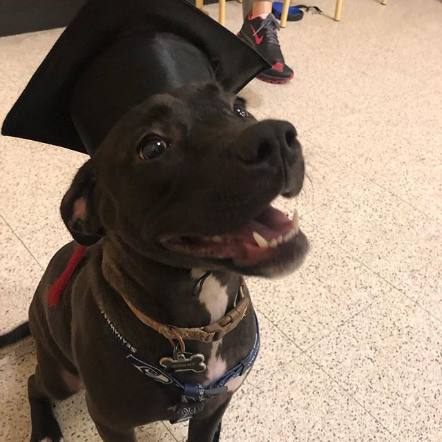 My grrl is officially an advanced pupper! #pittbull #puppy #puppiesofinstagram #pup #graduationday