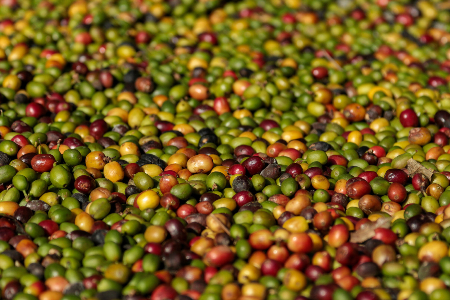 red-bean-coffee-production-04.jpg