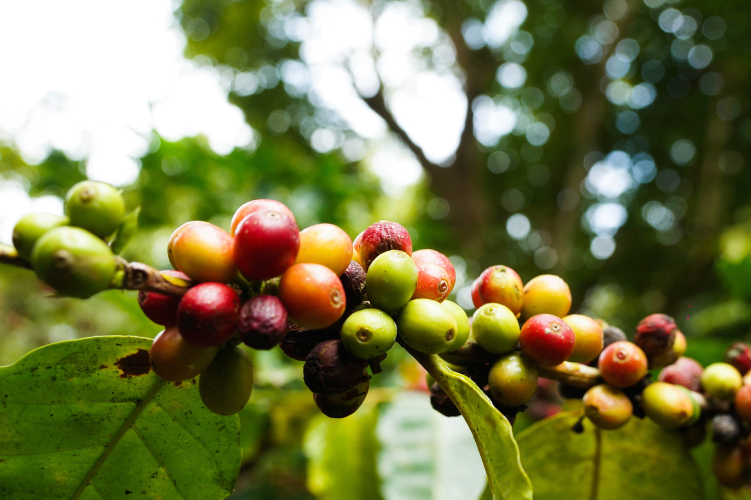 red-bean-coffee-production-08.jpg