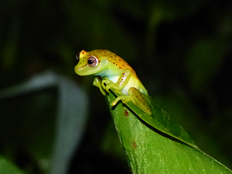 Hypsiboas punctatus  - Polka Dot Treefrog (Photo by Mike Pingleton)
