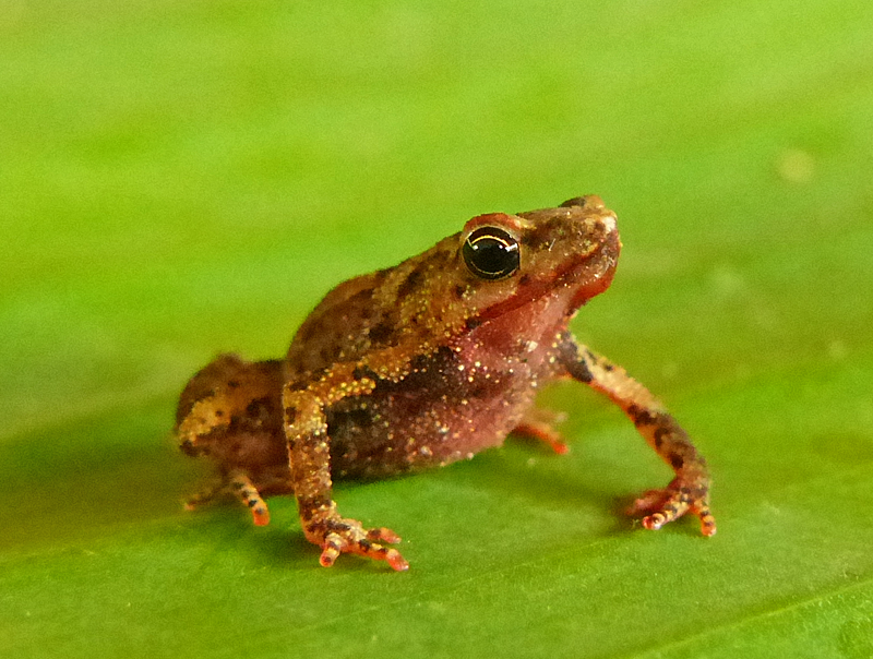 Amazophrynella minuta  - Orange-Bellied Leaf Toad (Photo by Mike Pingleton)