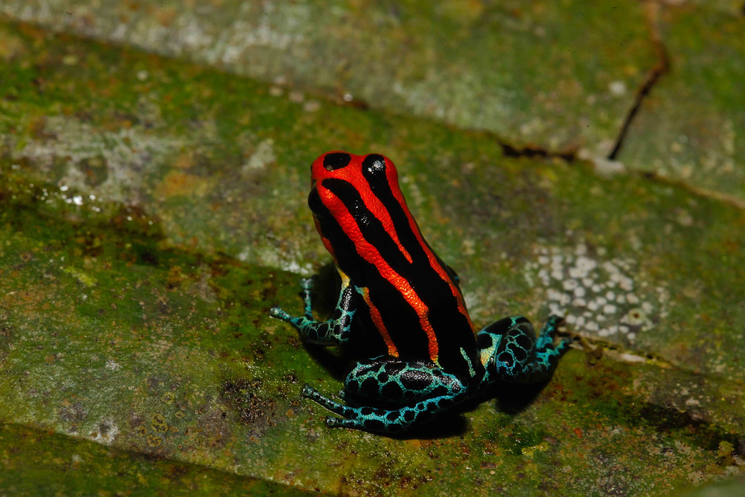 Ranitomeya amazonica (Photo by Matt Cage)