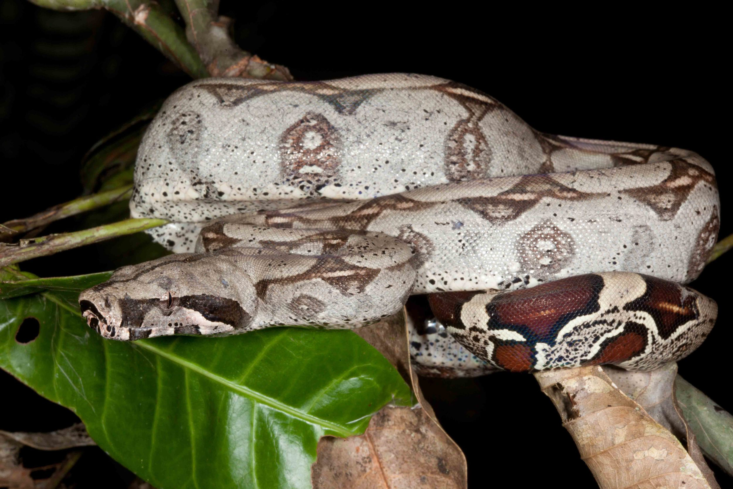 Boa constrictor constrictor, Red Tailed Boa (Photo by Matt Cage)