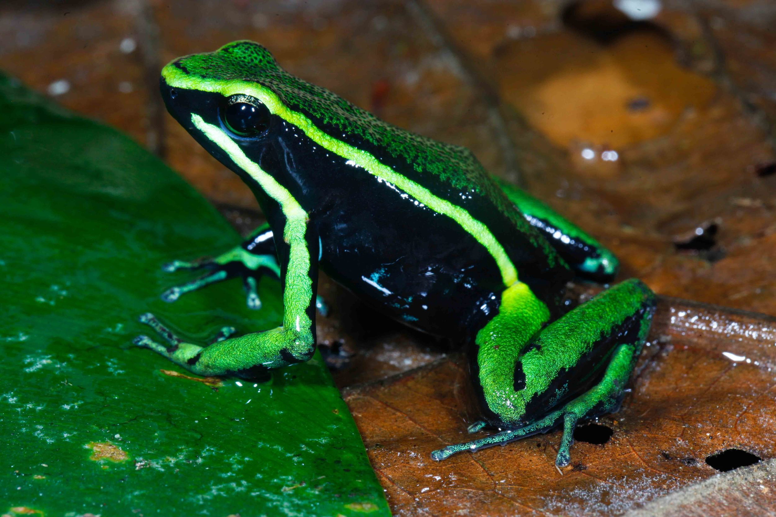 Ameerega trivittata, Three Striped Poison Frog (Photo by Matt Cage)